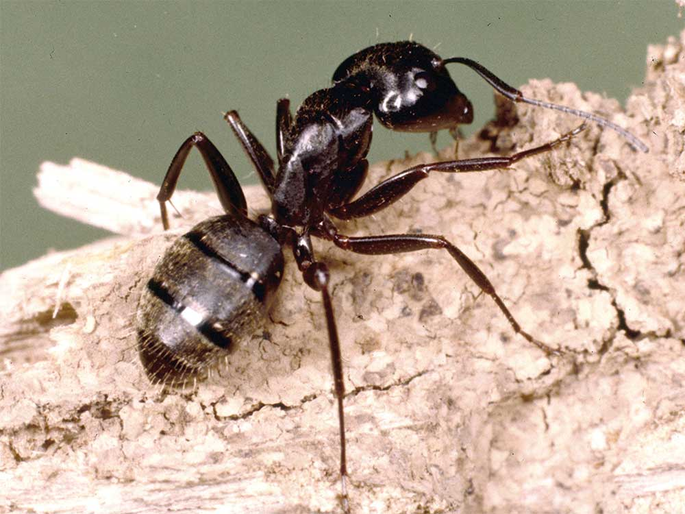 Carpenter Ants And Their Control