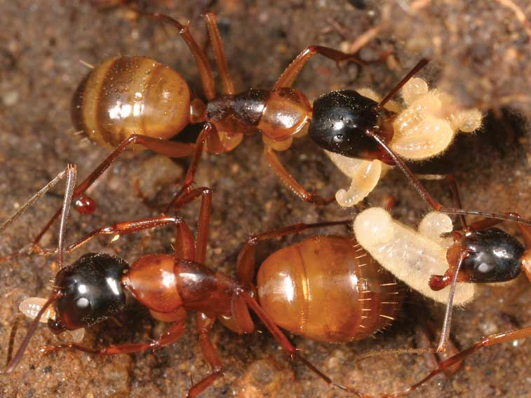 Fs1101 Carpenter Ants And Their Control Rutgers Njaes