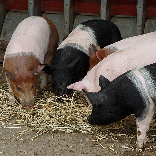 Photo: Piglets feeding.