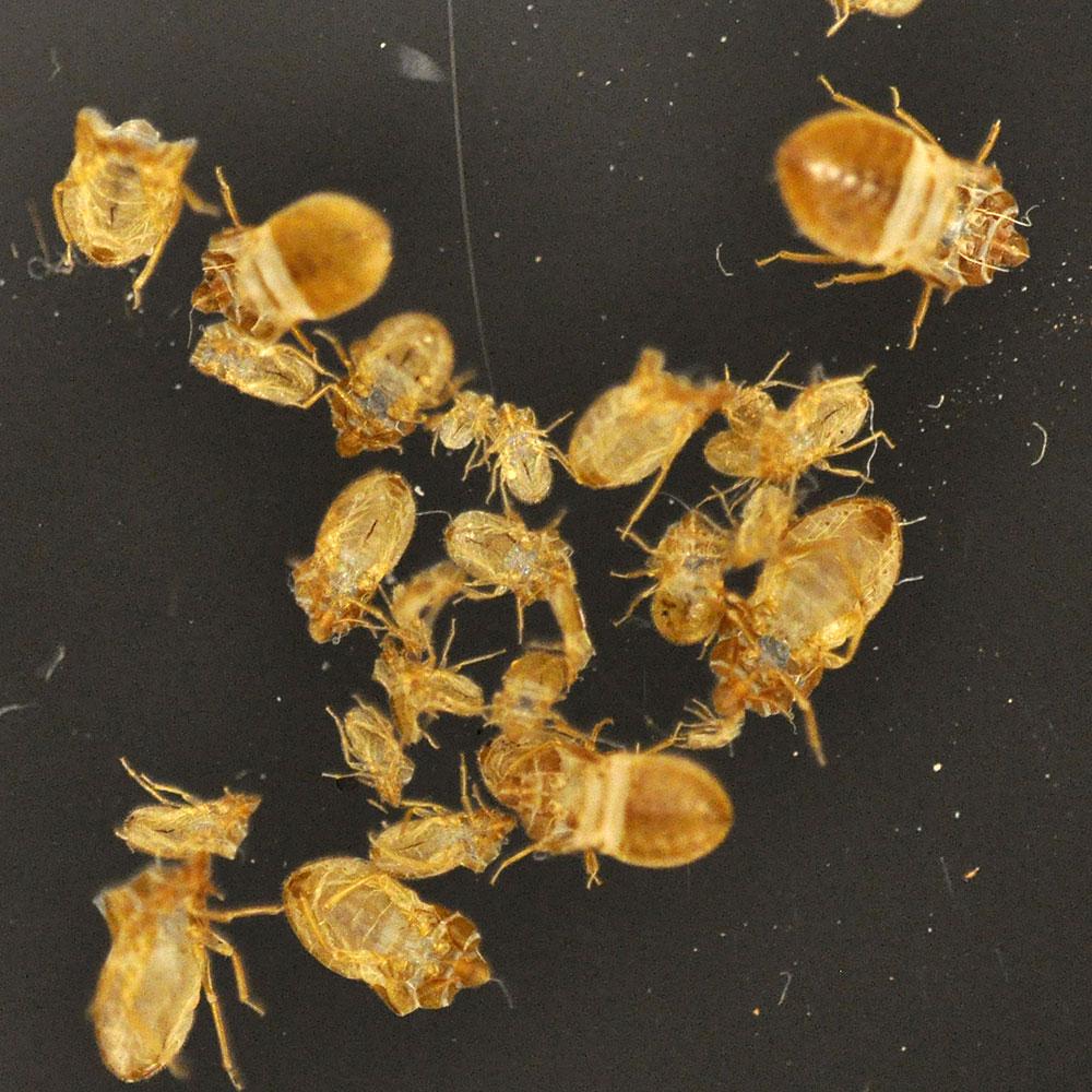 Bed Bug Skins White Bed