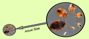 Bed Bug Information For Residents And Building Managers Rutgers Njaes