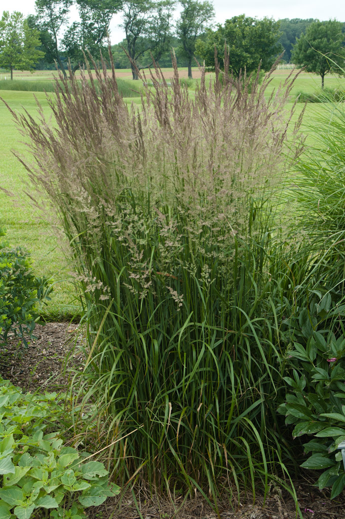 Landscape plants rated by deer resistance rutgers njaes for Ornamental grass that looks like wheat