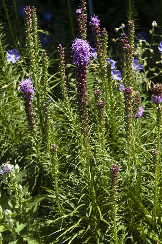 Landscape Plants Rated By Deer Resistance Rutgers Njaes