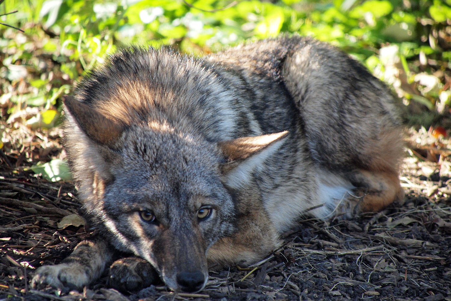 E367 Coyotes In New Jersey History Ecology And Management Rutgers Njaes