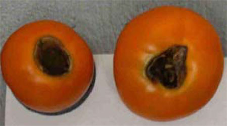 Tomato with blossom end rot.