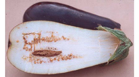 Eggplant with blossom end rot.