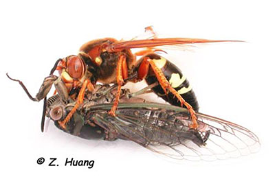 Figure 1 – Cicada Killer Wasp