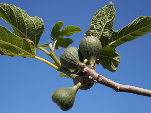 Photo: fig on tree branch.