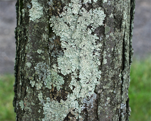Fs1205 Tree Dwelling Lichens Rutgers Njaes