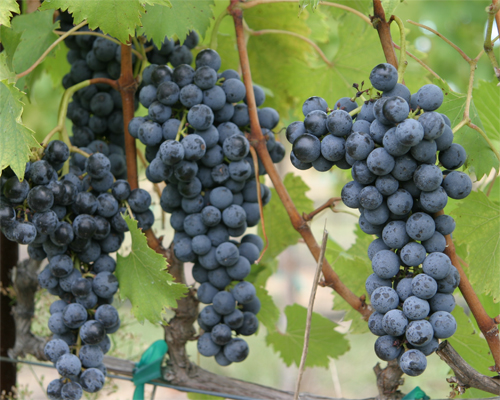 Fs1206 Planning To Start A Vineyard In New Jersey Rutgers Njaes
