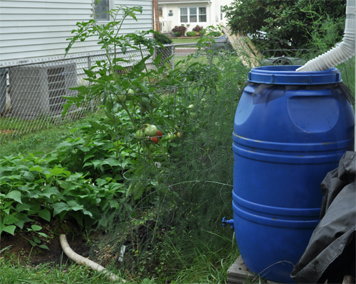 Photo: Rain Barrel Near A Vegetable Garden.