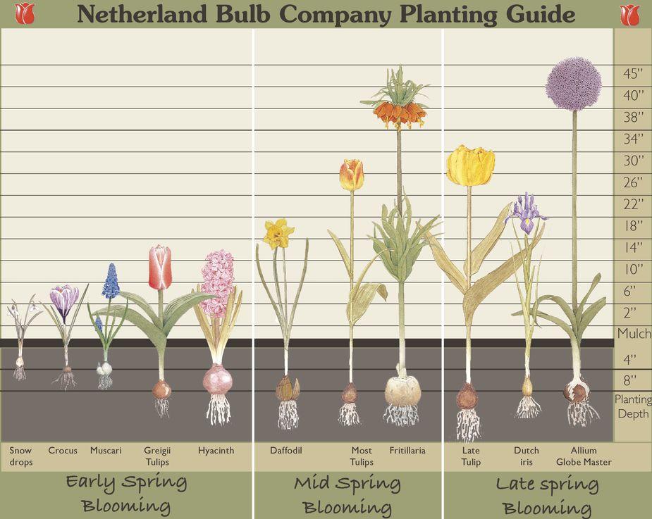 Spring Flowering Bulbs (From Rutgers Njaes)