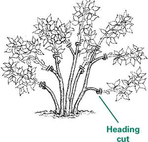 pruning flowering shrubs from rutgers njaes. Black Bedroom Furniture Sets. Home Design Ideas