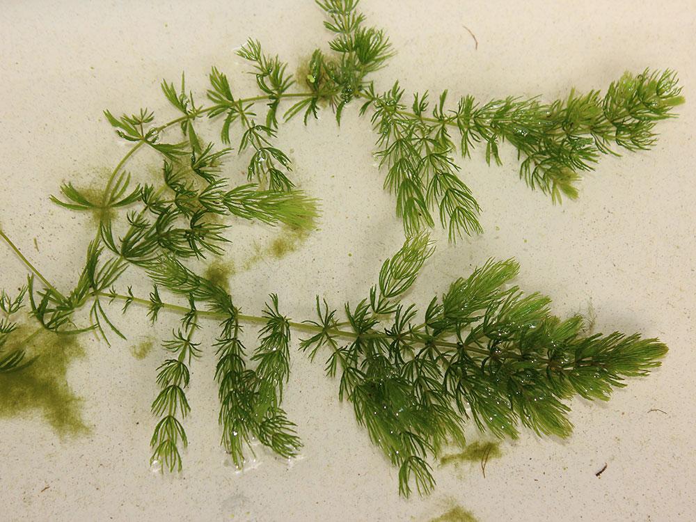Fs1236 coontail cerstophyllum demersum a native for Native pond plants
