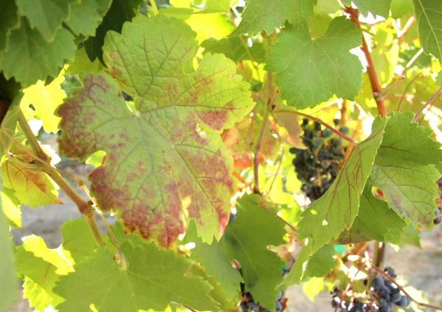 Fs1260 Red Leaves In The Vineyard Biotic And Abiotic Causes Rutgers Njaes