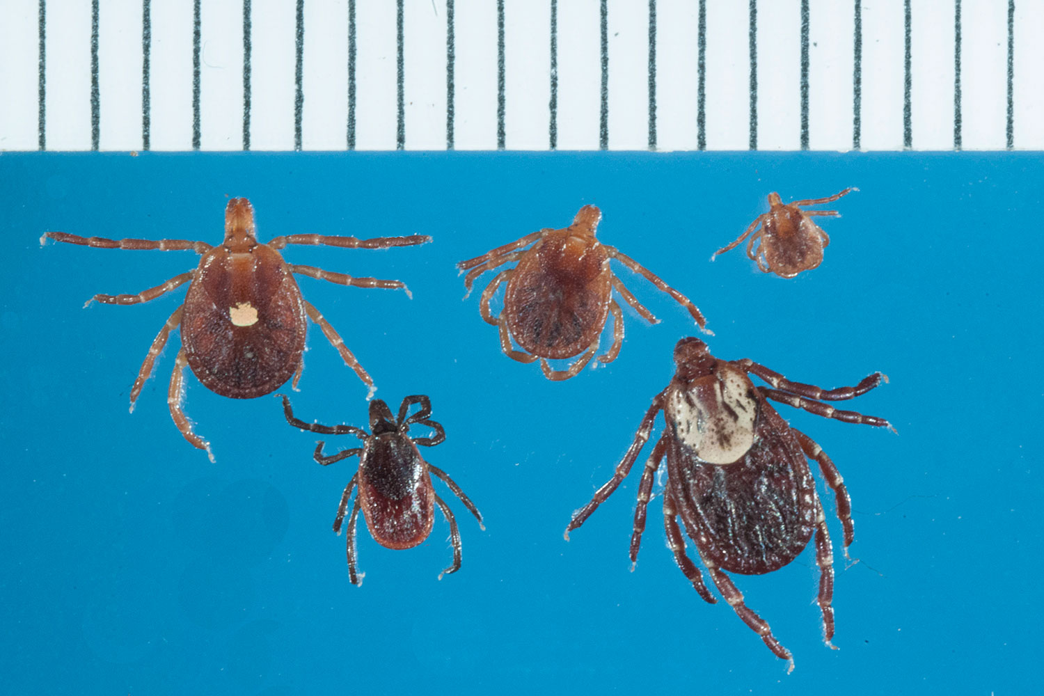 top row: lone star ticks, from left: adult female, nymph, larva  note  rounded body shape  bottom row: blacklegged (deer) tick adult female (left)  and