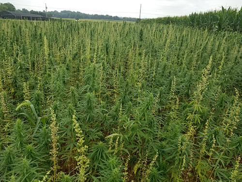 FS1302: Industrial Hemp Production in New Jersey: Frequently