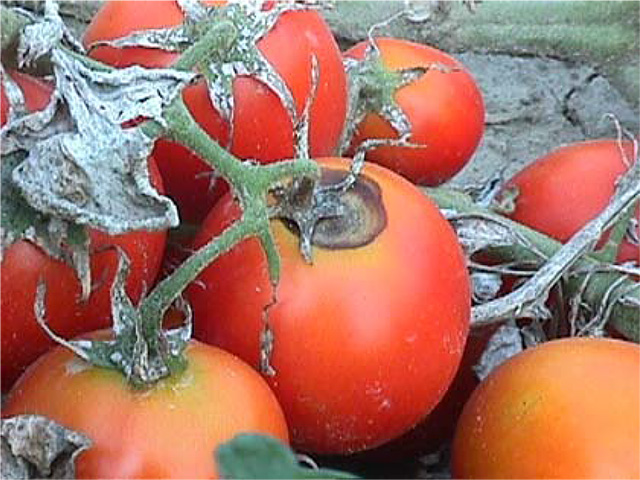 Fs547 Diagnosing And Controlling Fungal Diseases Of Tomato In The