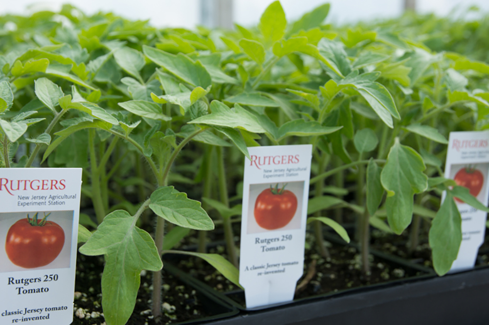 Fs678 Growing Tomatoes In The Home Garden Rutgers Njaes
