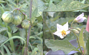 FS938: Poisonous Weeds in Horse Pastures (Rutgers NJAES)