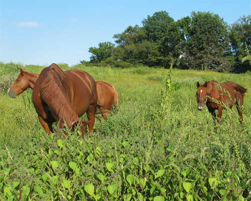 Fs938 poisonous weeds in horse pastures rutgers njaes photo horses in a field with greens pasture management mightylinksfo