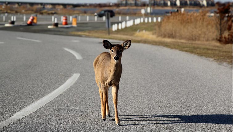 Photo of Careful on the Roads - it's Deer Rutting Season