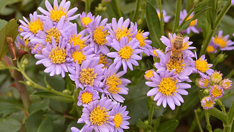 Photo of Aster Tataricus: A Floral Star in the November Garden
