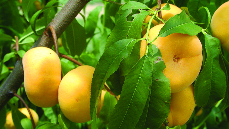 Photo of The Donut Peach is Gaining a Foothold in the Market-NJAES Helped Get it There.