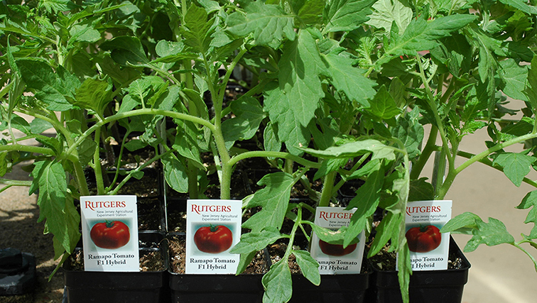 Photo of Ten Years of Tasty Tomatoes & the Ramapo Tomato's 50th Year as Home Gardeners' Favorite