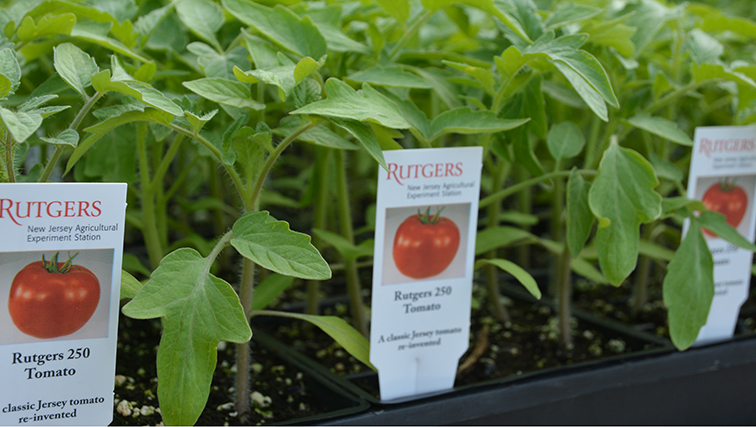 Photo of To Grow Your Own Jersey Tomatoes, Start With Rutgers NJAES Seeds