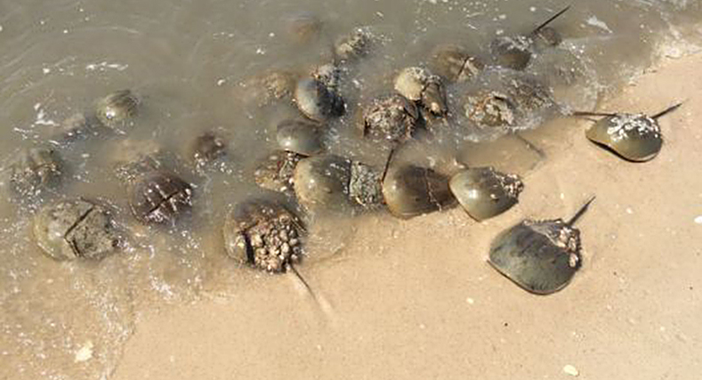 Rutgers Ensuring Horseshoe Crabs' Survival in NJ Waters: Since 2012 Mike DeLuca, and his team at the NJ Aquaculture Innovation Center, have released about 250,000 baby horseshoe crabs into the Delaware Bay.