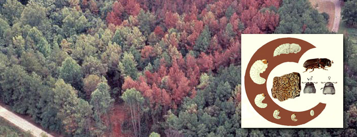 Photo depicting Southern Pine Beetle