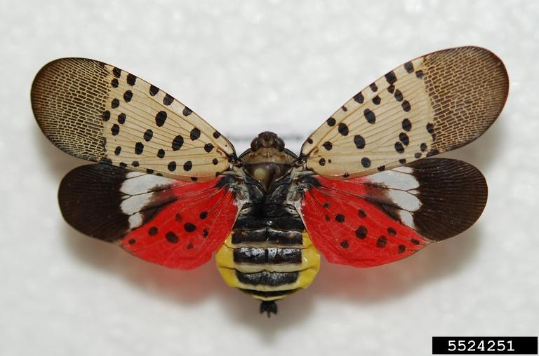 Spotted Lanternfly (Rutgers NJAES)