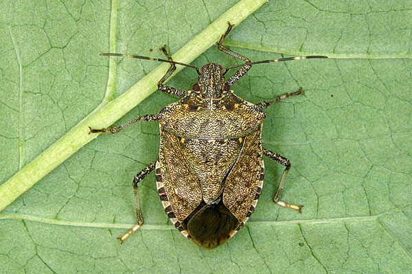 How to Identify the Brown Marmorated Stink Bug (Rutgers NJAES)