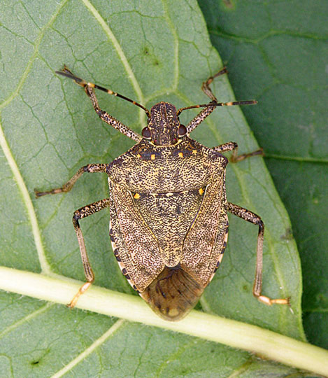 how to identify the brown marmorated stink bug rutgers njaes. Black Bedroom Furniture Sets. Home Design Ideas