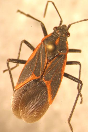 Zoom In Photo Of A Boxelder Bug