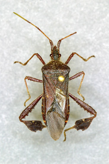 Seed Bug The Brown Marmorated Stink Looks
