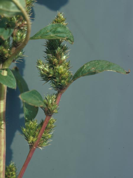 photo of spiny pigweed close up
